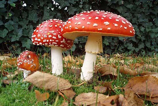 Tarot hongos-esotericos-1 Significado esotérico de los hongos Plantas