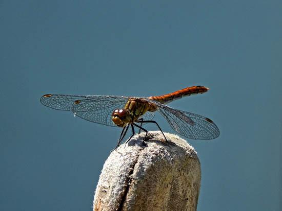 Tarot libelula Significado esotérico de la libélula amuletos Amuletos y hechizos