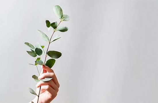 Tarot hojas-de-eucalipto Poderosos rituales con eucalipto hechizos Plantas Protección Ritos y tradiciones